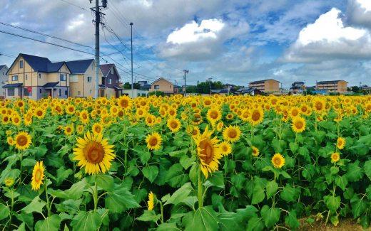 榎前ひまわり畑: (平成25年9月15日撮影)